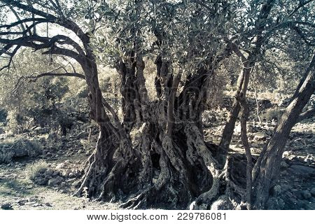 Mediterranean Olive Field With Old Olive Tree Ready For Harvest.