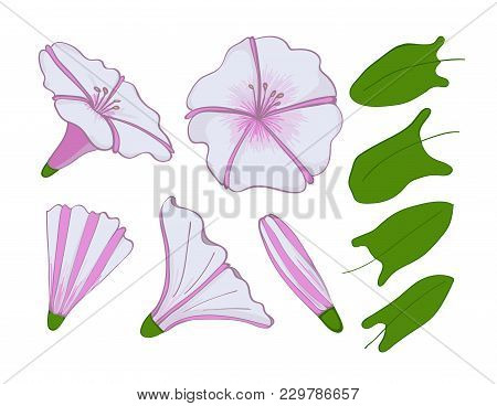Isolation Elements Of White And Pink Bindweed. Flowers, Buds And Leaves Of Morning-glory. Set Convol