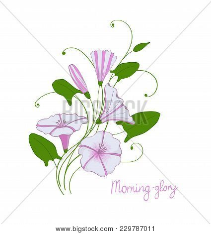 Decorative Wedding Element Convolvulus Bouquet. White And Pink Flowers Bindweed. Vector Isolated Mor