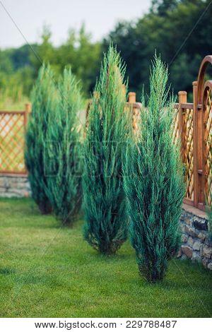 Leylandii An Evergreen Coniferous Tree Of Very Fast Rapid Growth
