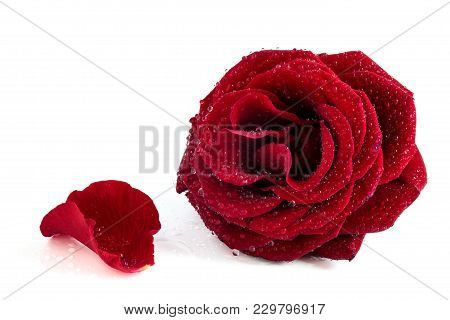 Red Rose And Rose Petals Isolated On White Background. With Water Drops.