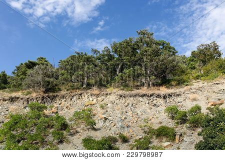 View Of Juniper Trees With Bare Roots Growing On A Hillside.