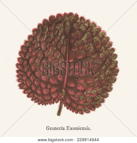 Genera exoniensis found in (1825-1890) New and Rare Beautiful-Leaved Plant.