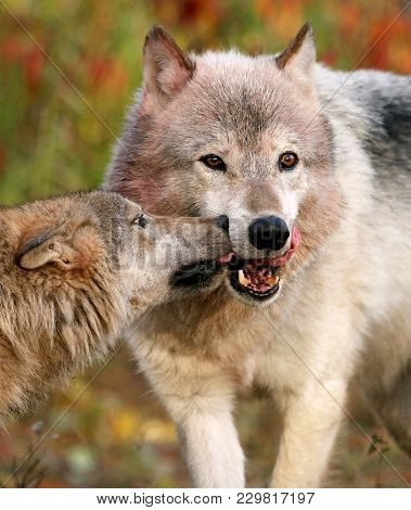 Close Up Image Of A Wolf Pack Demonstrating Submissive Behavior To The Alpha Male.  Animals In Capti