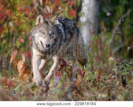 Close Up Image Of A Gray Wolf, Running.