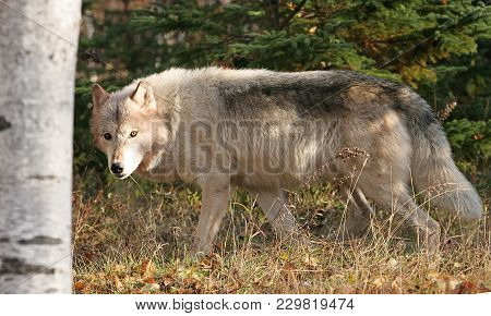 Close Up, Profile, Of A Gray Wolf