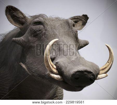 A Close Portrait Of A Warthog, Genus Phacochoerus, A Wild Pig