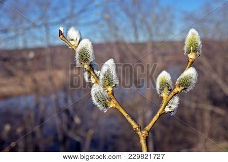 Willow Branches With Blooming Buds Fluffy On The Isolated Background, Beautiful Furry Buds Of Pussy