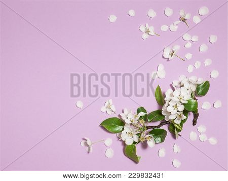 Spring Light Pink Background With White Blooming Apple Or Cherry Flowers, Close-up Top View, Horizon