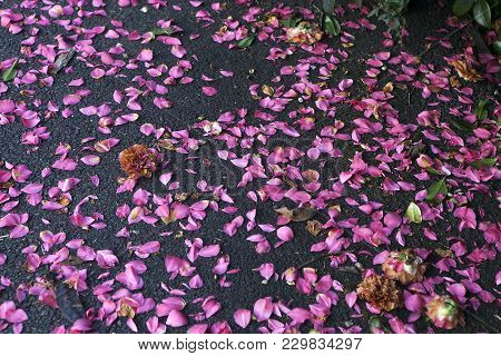 Fallen Rhododendron Flowers On The Ground At The Royal Kew Botanical Gardens In London. Pink Earth