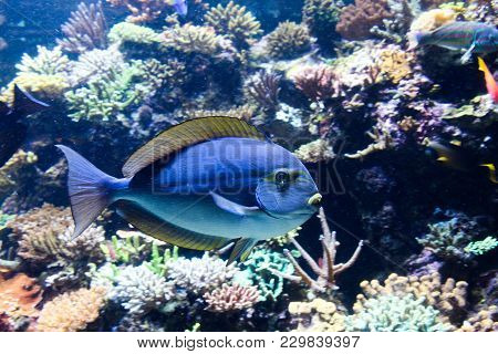 Blue With Yellow Top Fin Saltwater Tropical Fish