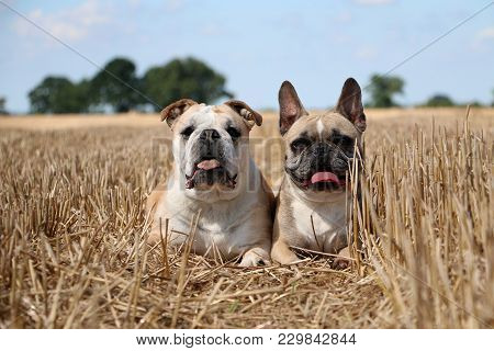 English And French Bulldogs Are Lying In The Stubble Field