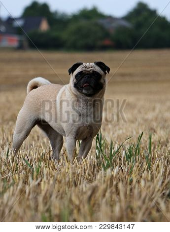Little Pug Is Standing On A Stubble Field
