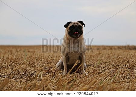 Little Pug Is Sitting On A Stubble Field