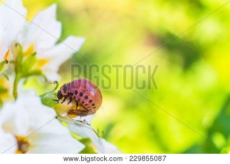 Larva Of Colorado Potato Beetle  Eats White Potato Flower. Garden Insect Pest Close-up. Selective Fo