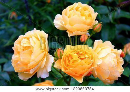 Bright Big Orange Roses. Delicate Large Orange Roses On The Bushes. Orange Rosebuds. Rose Bush In Th