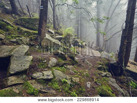 A Forest Path Through Heavy Forest, Light Fog And Fern Line.