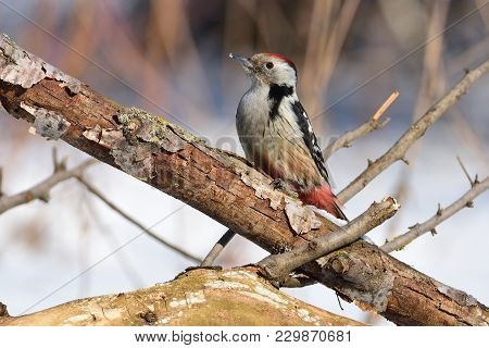 Middle Spotted Woodpecker (dendrocoptes Medius) Sits On A Thick Branch With A Flaky Bark (sun Reflec