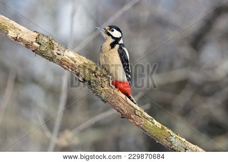 The Great Spotted Woodpecker (dendrocopos Major) Sits In A Park On A Branch, Preparing To Eat Lard.