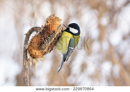 Great Tit (parus Major) Sits On A Basket Of Sunflower, Holding A Seed In Its Beak.