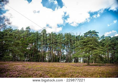 Pine Tree Wood On Cloudy Blue Sky. Woodland, Forest, Nature, Landscape. Ecology, Eco, Environment, S