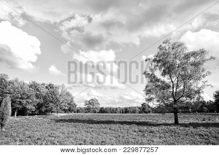 Heathland With Flowering Common Heather (calluna Vulgaris) And An Oak In The Lueneburg Heath (lueneb