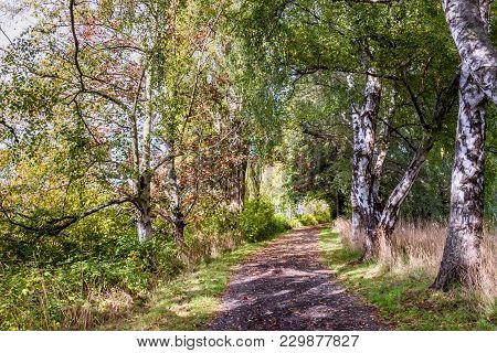 A Dirt Path In A Birch Grove With Green Trees, Grass And Shadows On The Ground, On A Summer, Sunny D