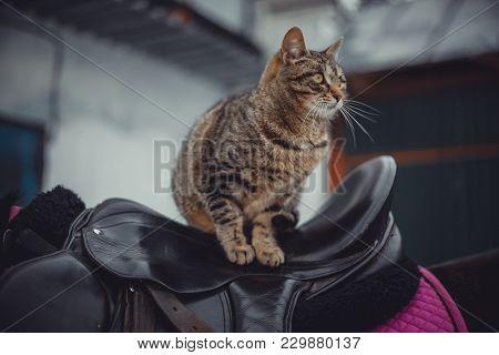 Tabby Cat Sitting On Saddle At Horseback
