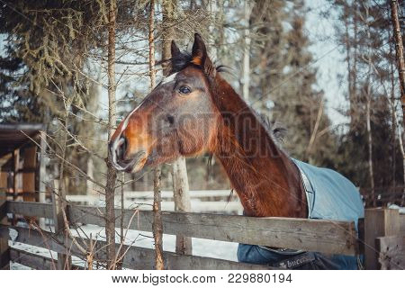 Winter Horse Portrait In Paddock At Sunny Day