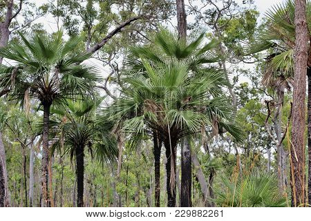 Native Palm Trees In Tropical  North Queensland In A Natural State