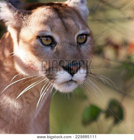 Big Cat, Known By The Name Of Cougar, Mountain Lion, Or Puma