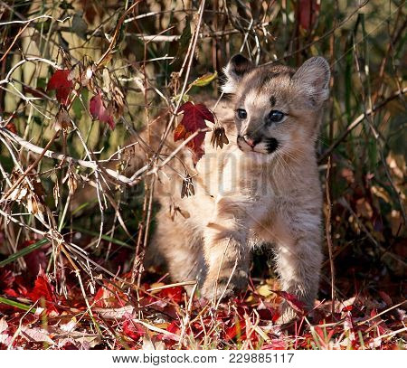 Baby Wild Cat Known As A Cougar, Mountain Lion Or Puma, With Surrounding Autumn Foliage.
