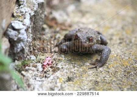 Toad on the rock, macro photography