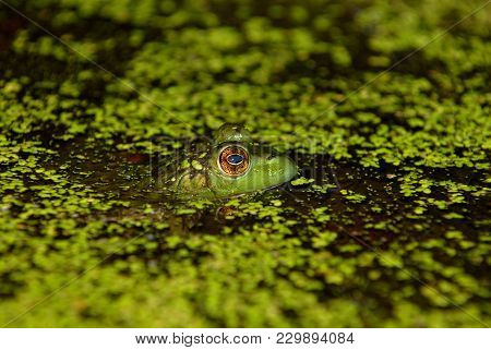 A Large Golden Eye Of A Green Aquatic Frog Looking Out Over The Duckweed.