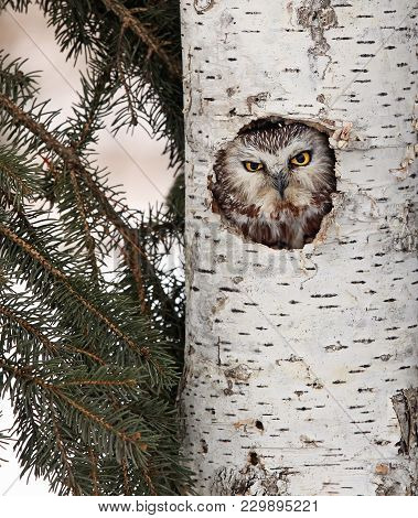 Close Up Image Of A Saw-whet Owl Peaking Out A Birch Tree Cavity