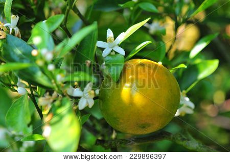 Orange And Orange Blossoms In Garden