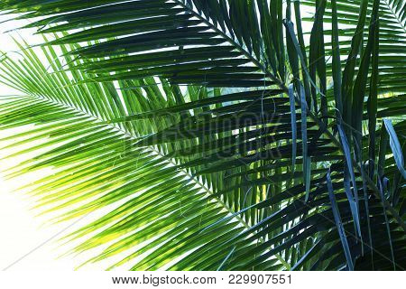 Coconut Palm Tree Leaf Photo. Coco Leaf Silhouette Closeup. Abstract Coco Palm Leaf Background. Gree
