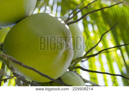 Green Coconut Growing On Palm Tree. Coconut In Sunlight. Coco Nut Palm Tree. Green Nut On Tree Close