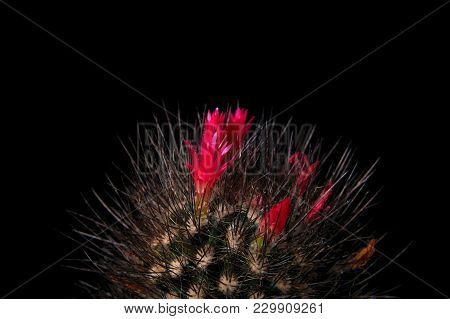 Cactus With Rich Red Flowers On Black Background. Chilean Cactus Chocolate Color With Burgundy Flowe
