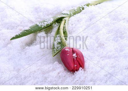 Spring Tulip Lies On The Snow Close Up