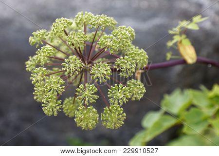 Closeup Angelica Flower (latin Name: Angelica Archangelica)