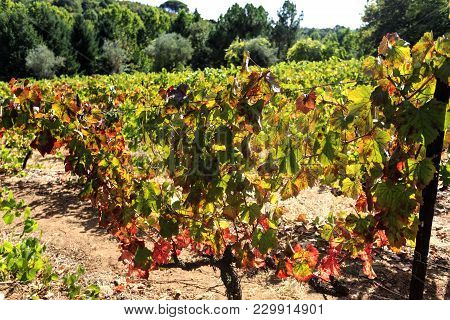Vila Real, Portugal - September 22, 2017: Autumnal Colours On The Wine Grape Vines Of The Formal Win
