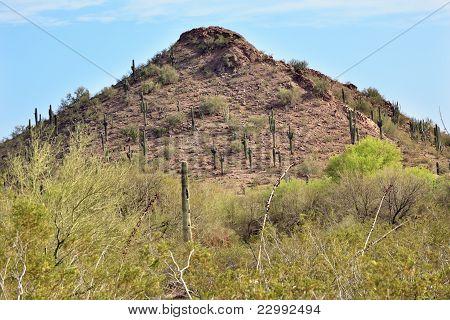 Saguaro Cactus Desert Botanical Garden Phoenix Arizona