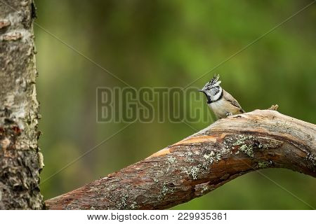 Lophophanes Cristatus. Nature Of Europe. Wild Scandinavian Nature. Beautiful Picture. From Bird Life