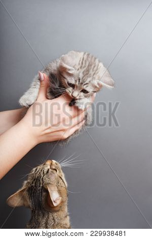 Cute Tabby Kitten In The Hands Of A Gray Background With A Cat Mother, Looking At Each Other , Studi