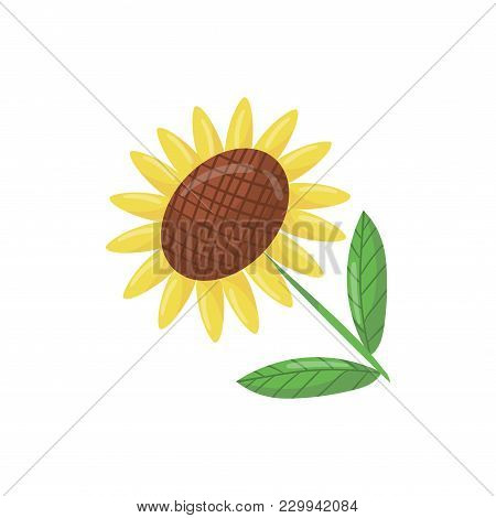 Cartoon Icon Of Beautiful Sunflower With Green Leaves. Traditional Agricultural Plant With Large Flo