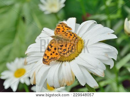 A Close Up Of The Butterfly (polygonia C-aureum) On Flower Of Chamomile.