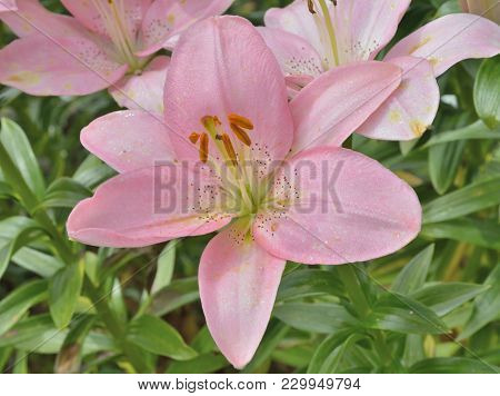 A Close Up Of The Flower Pink Lily With Raindrops On Petals.