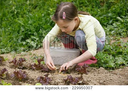 Little Girl Working In The Garden, Putting Mulch Among Salad Seedlings, Gardening. Education For Lif