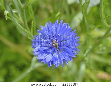 A Close Up Of The Flower Of Medicinal Herb Cornflower (centaurea Cyanus) With Bee On Petals.
